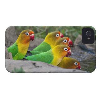Africa. Tanzania. Fischer's Lovebirds drinking iPhone 4 Case-Mate Case