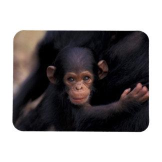 Africa, Tanzania, Gombe Nat'l Park,  Flirt, a Rectangular Photo Magnet
