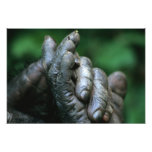 AFRICA, Tanzania, Gombe Nat'l Park, Male Photo Print