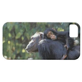ÁFRICA, Tanzania, Gombe NP, chimpancés.  Femenino iPhone 5 Case-Mate Cobertura