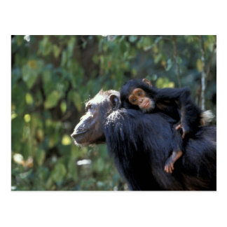 ÁFRICA, Tanzania, Gombe NP, chimpancés.  Femenino Postales