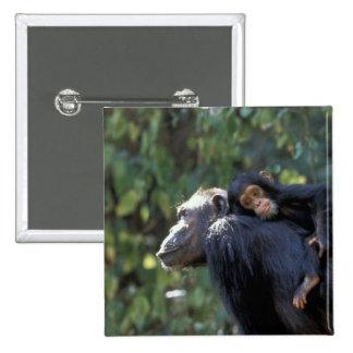 AFRICA, Tanzania, Gombe NP, Chimpanzees.  Female Button