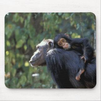 AFRICA, Tanzania, Gombe NP, Chimpanzees.  Female Mouse Pad