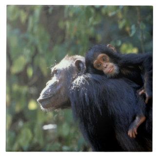 AFRICA, Tanzania, Gombe NP, Chimpanzees.  Female Tile