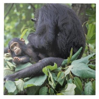 Africa, Tanzania, Gombe NP Female chimpanzee Ceramic Tile