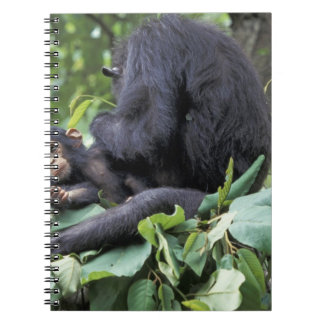 Africa, Tanzania, Gombe NP Female chimpanzee Notebook