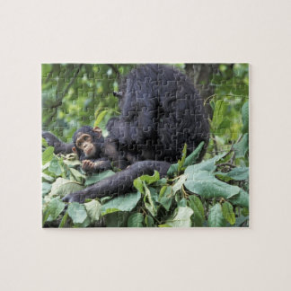Africa, Tanzania, Gombe NP Female chimpanzee Puzzle