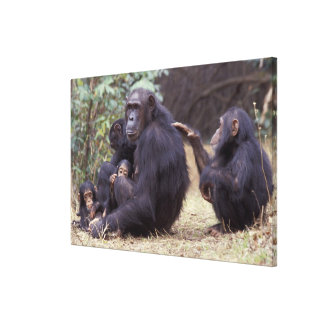 Africa, Tanzania, Gombe NP Infant female Gallery Wrapped Canvas