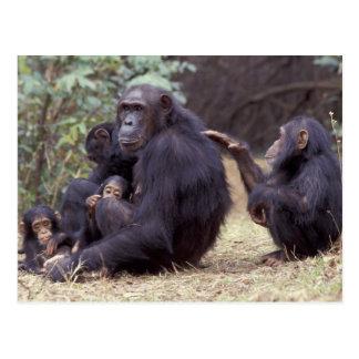 Africa, Tanzania, Gombe NP Infant female Postcard