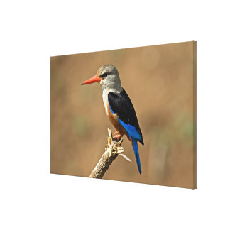 Africa, Tanzania, Grey-headed Kingfisher Gallery Wrapped Canvas