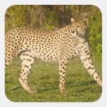 África. Tanzania. Guepardo femenino en Ndutu en Pegatina Cuadrada
