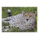 África. Tanzania. Guepardo femenino en Ndutu en Tarjeta De Felicitación