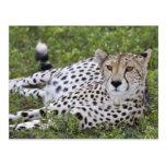 África. Tanzania. Guepardo femenino en Ndutu en Tarjetas Postales