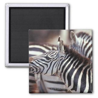 Africa,Tanzania,herd of zebras 2 Inch Square Magnet