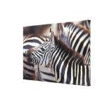 Africa,Tanzania,herd of zebras Canvas Print