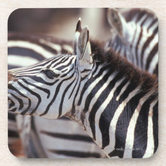 Africa,Tanzania,herd of zebras Coaster