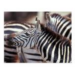 Africa,Tanzania,herd of zebras Postcard