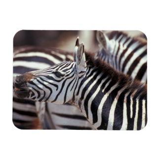 Africa,Tanzania,herd of zebras Rectangular Photo Magnet