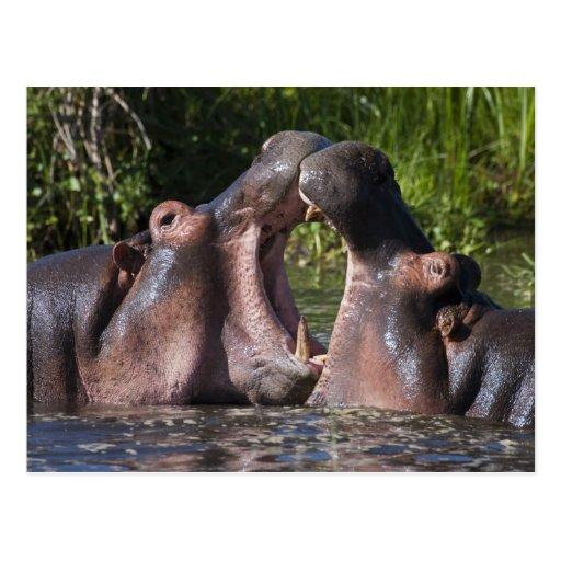Africa. Tanzania. Hippopotamus sparring at the Post Cards