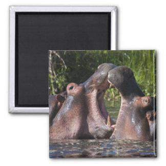África. Tanzania. Hippopotamus sparring en Imán Cuadrado