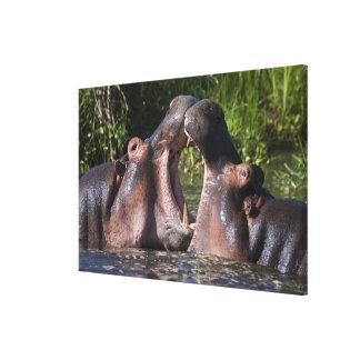 África. Tanzania. Hippopotamus sparring en Impresiones De Lienzo