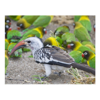 África. Tanzania. Hornbill Rojo-cargado en cuenta Tarjetas Postales