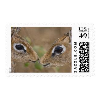 Africa. Tanzania. Kirk's Dik Dik at Manyara NP. Postage Stamp