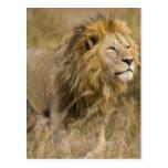 África. Tanzania. León masculino en Ngorongoro Tarjetas Postales