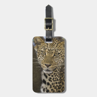Africa. Tanzania. Leopard in tree at Serengeti Luggage Tag