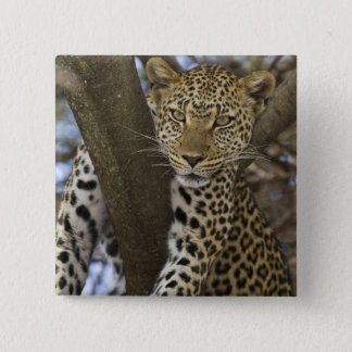 Africa. Tanzania. Leopard in tree at Serengeti Pinback Button