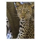 Africa. Tanzania. Leopard in tree at Serengeti Postcard