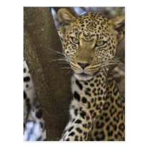 Africa. Tanzania. Leopard in tree at Serengeti Postcard