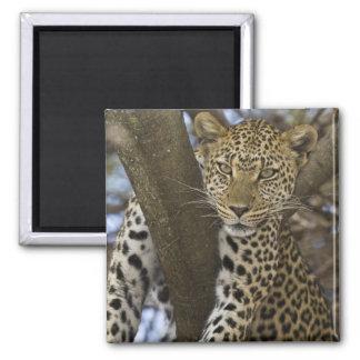 África. Tanzania. Leopardo en árbol en Serengeti Imán Cuadrado