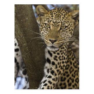 África. Tanzania. Leopardo en árbol en Serengeti Tarjetas Postales