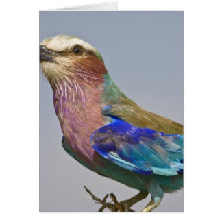 Africa. Tanzania. Lilac-Breasted Roller in Card