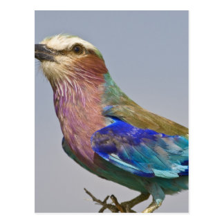Africa. Tanzania. Lilac-Breasted Roller in Postcard