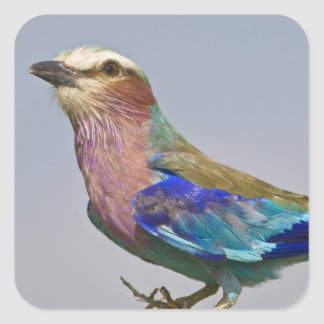 Africa Tanzania Lilac-Breasted Roller in Sticker
