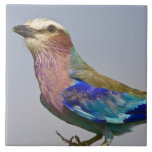 Africa. Tanzania. Lilac-Breasted Roller in Large Square Tile