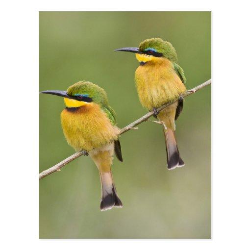 Africa. Tanzania. Little Bee Eaters at Manyara Post Card