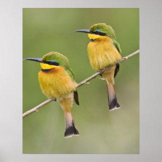 Africa. Tanzania. Little Bee Eaters at Manyara Poster