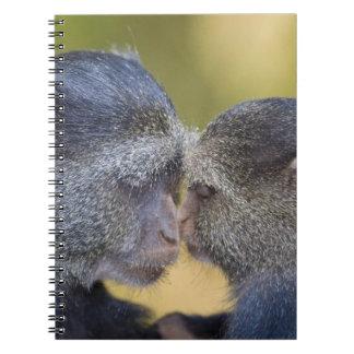 África. Tanzania. Madre azul del mono con los jóve Libretas