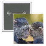 África. Tanzania. Madre azul del mono con los jóve Pin Cuadrado