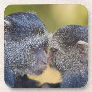 África. Tanzania. Madre azul del mono con los jóve Posavasos