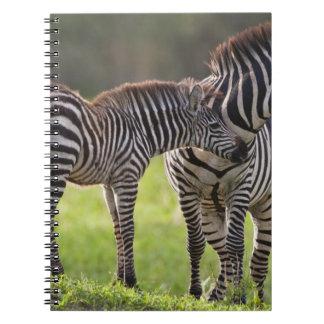 África. Tanzania. Madre y bebé de la cebra común Cuadernos
