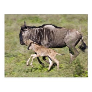 África. Tanzania. Madre y bebé del Wildebeest en Tarjeta Postal
