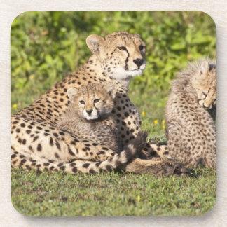 África. Tanzania. Madre y cachorros 2 del guepardo Posavasos