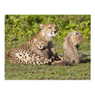 África. Tanzania. Madre y cachorros 2 del guepardo Tarjeta Postal