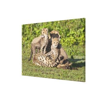 África. Tanzania. Madre y cachorros del guepardo Impresión En Lona Estirada