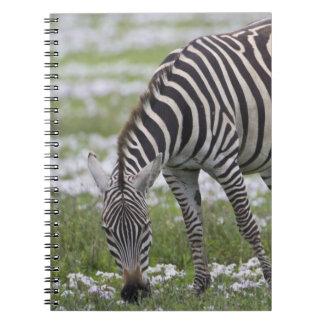 África. Tanzania. Madre y potro de la cebra en Note Book