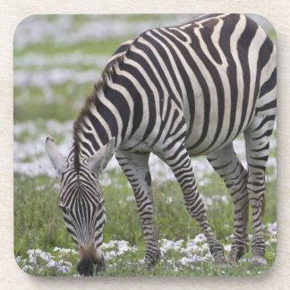 África. Tanzania. Madre y potro de la cebra en Posavasos De Bebidas
